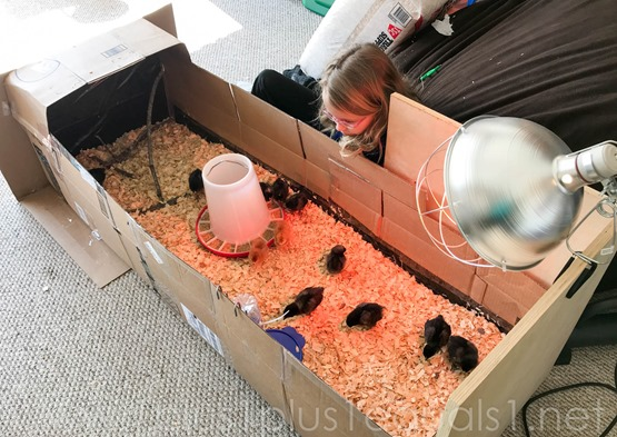 DIY Brooder Box for Chicks made from cardboard boxes-2