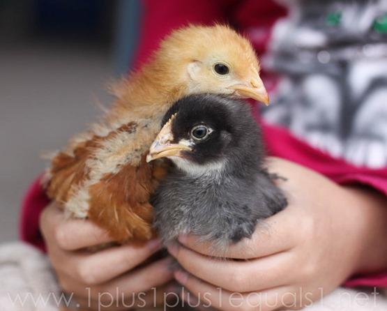 Chicks week 3-13