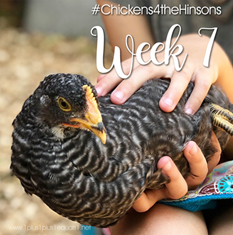 Chickens-4-the-Hinsons-Week-73