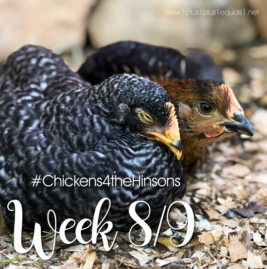 Chickens 4 the Hinsons Week 8 and 9